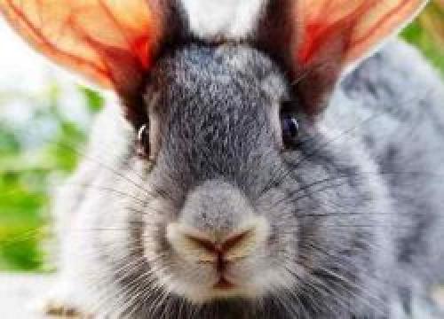 Вздутие живота у кролика лечение в домашних условиях. Лечение вздутия живота у кроликов