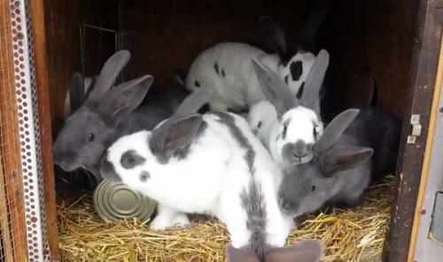 Можно ли случать кроликов-родственников. Можно ли спарить кроликов-родственников