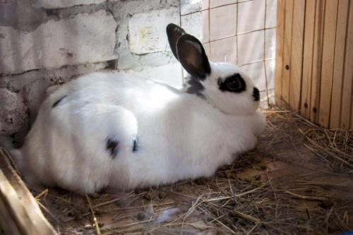 Течка у кроликов. Как понять, что пора спаривать кроликов?