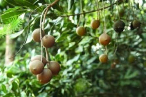 Макадамия орех полезные свойства и противопоказания. Что это за орех такой? История возникновения