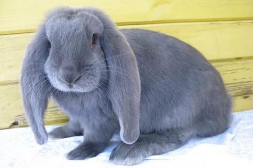 Когда можно случать кроликов французский баран. Описание кроликов породы французский баран