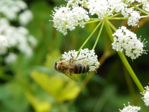 Дягилевый мед чем отличается от других сортов. Характеристика и описание дягилевого мёда