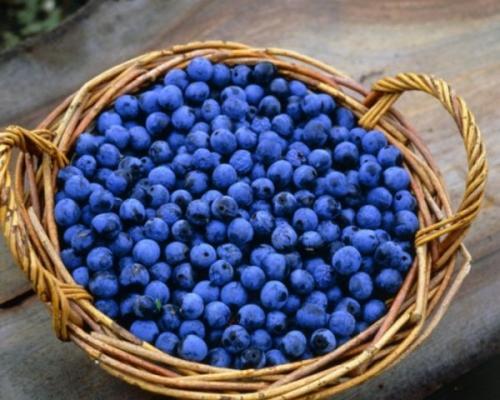 Полезные свойства терна ягод. Полезные свойства терена для организма человека