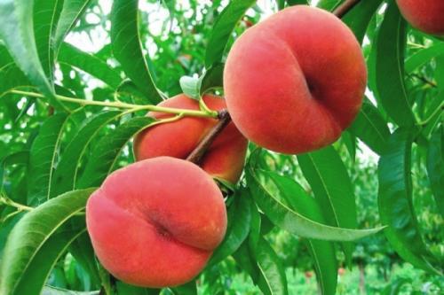 Персик из косточки лучше привитого. Выбираем посадочный материал