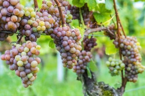 Кислый кишмиш. Всё о винограде Кишмиш: описание, сорта, посадка и выращивание