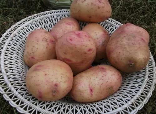 Скороспелка картофель сорт. Ультраранние сорта с периодом созревания 35-50 дней