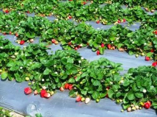 Когда лучше сажать клубнику весной или осенью. Когда лучше сажать клубнику