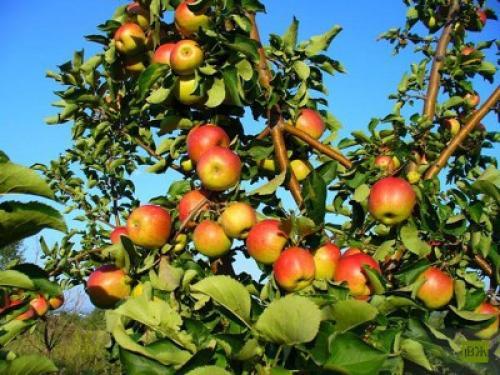 Яблоня жигулевское. Описание сорта Жигулевский
