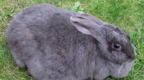 Срок беременности крольчихи и рождение крольчат. Беременность у кроликов: симптомы, сроки и уход