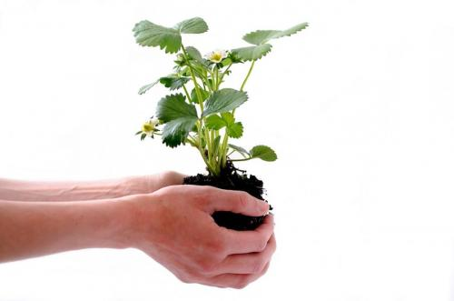 Клубника когда сажать осенью или весной. Как правильно сажать клубнику осенью?