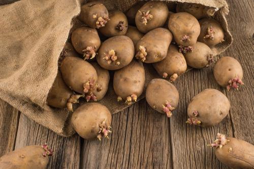 Можно ли есть проросшую картошку, но не зеленую. И чем он может навредить?
