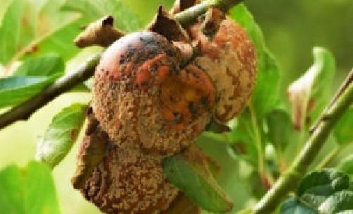 Почему гниют яблоки на дереве. Монилиоз – лечение: срочные меры
