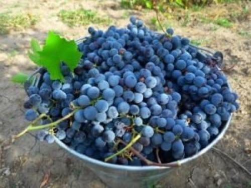 Домашнее вино из винограда изабелла с водой. РЕЦЕПТ КЛАССИЧЕСКИЙ