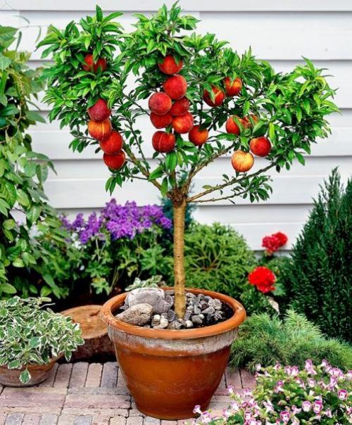 Как прорастить персиковую косточку. Выбор посадочного материала
