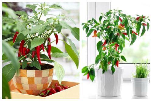 Комнатный горький перец выращивание в домашних условиях. Популярные сорта перцев для выращивания в доме
