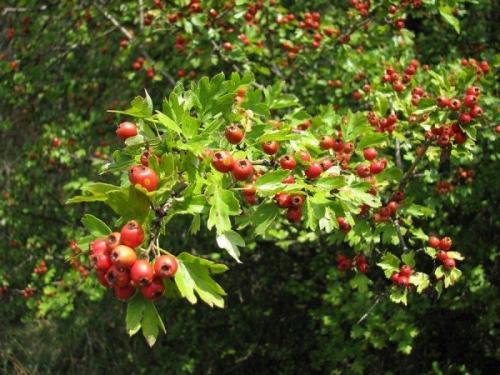 Боярышник время сбора плодов. Когда можно собирать плоды, цветы и листья боярышника впрок