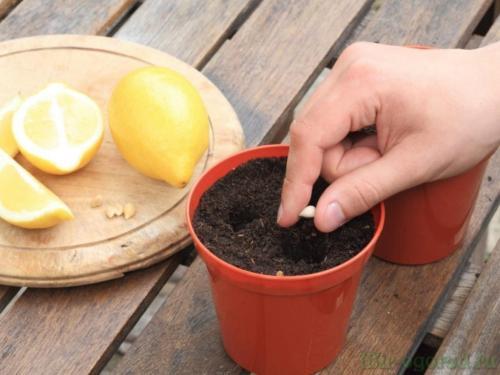 Лимонное дерево в домашних условиях из косточки. Выращивание лимона из косточки в домашних условиях