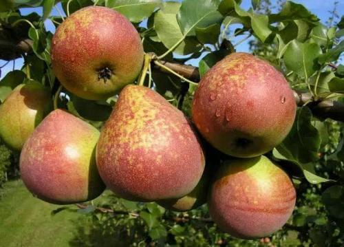 Сорта груши среднеспелые. Осенние
