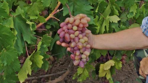 Что делать с несозревший виноград. Причины незрелого винограда