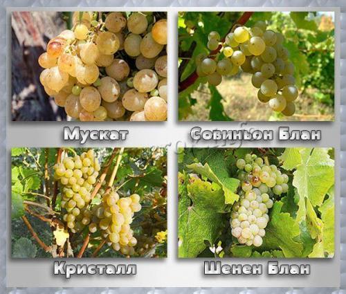 Синий винный виноград. Винные сорта белого винограда