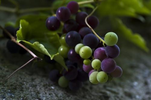 Что делать с недозревшим виноградом. Можно ли делать вино из недозревшего винограда