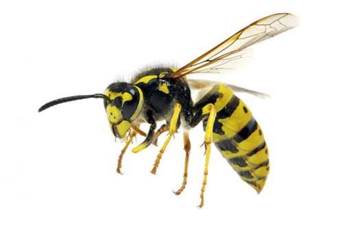 Чешется укус осы. Как и чем снять зуд от укуса осы в домашних условиях