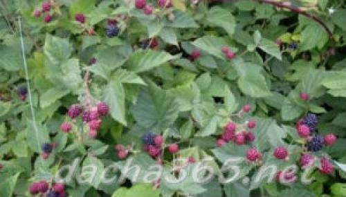 Агротехника ежевики садовой. Виды ежевики для выращивания на участке
