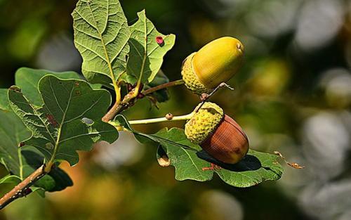 Листья дуба. Фото и картинки листьев дуба
