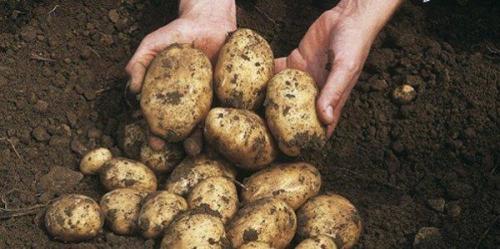 Скороспелка сорт картофеля. Удивить своих соседей по даче ранними урожаями просто, с картофелем сорта Скороспелка: описание и отзывы