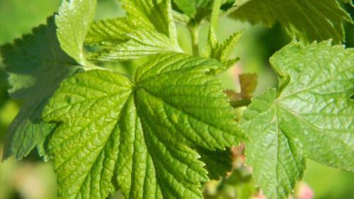 Листья смородины лечебные свойства. Лечебные и полезные свойства смородиновых листьев