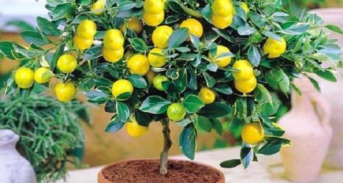 Чем подкормить лимонное дерево в домашних условиях. Чем и как правильно подкормить лимон в домашних условиях?