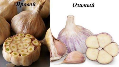 Сколько нужно для посадки чеснока на 1 га. Урожайность чеснока с 1 га в России
