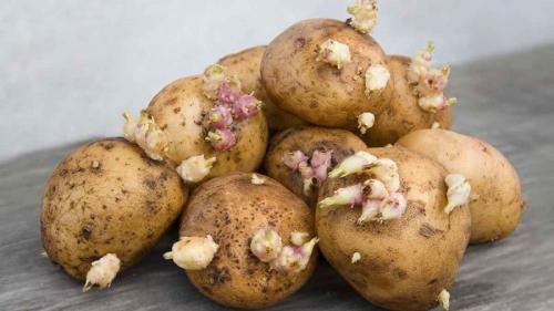 Можно ли есть сморщенную картошку. Почему нельзя есть проросшую картошку