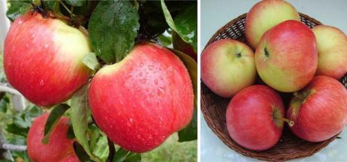 Какие яблоки самые вкусные. 50 сортов яблок с фото и описаниями