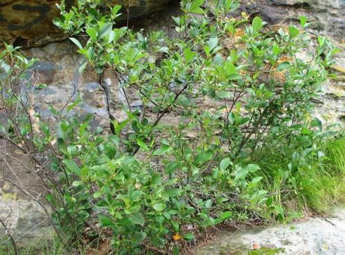 Как правильно посадить рябину черноплодную осенью. Посадка аронии черноплодной