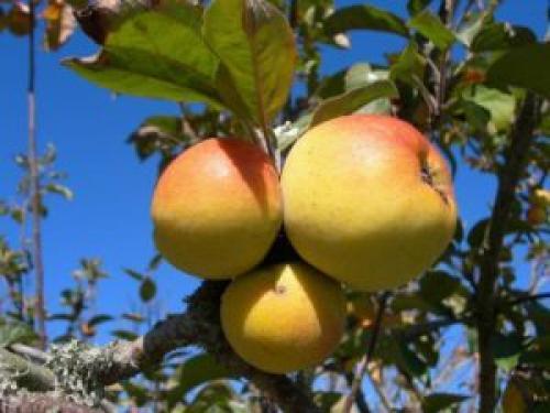Осенний уход за яблоней. Уход за яблоней осенью