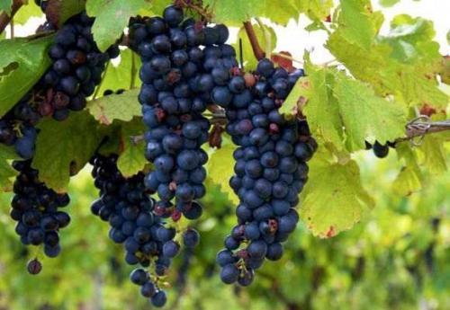 Когда снимать виноград изабелла. Описание сорта