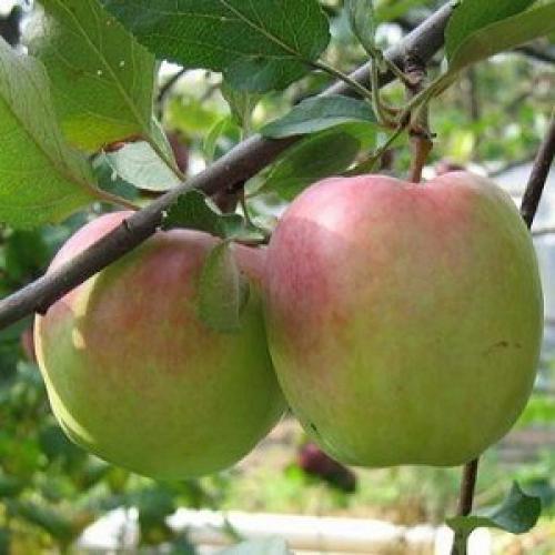 Яблоня зимние сорта. Популярные зимние сорта яблонь