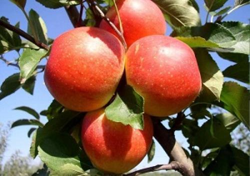 Летние красные яблоки сорта. Различные летние сорта яблонь